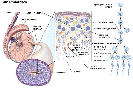 ot-chego-patologiya-golovki-spermatozoyda